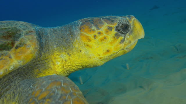 Underwater CU into ECU track with Hawksbill Turtle swimming over seabed