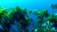 Underwater kelp swaying in the surge
