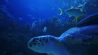 Underwater life: nice sea turtle with its remora attached