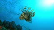 Underwater MS Lionfish floating above coral reef with massed shoals in background