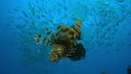 Underwater MS Lionfish floating head down with massed shoals in background