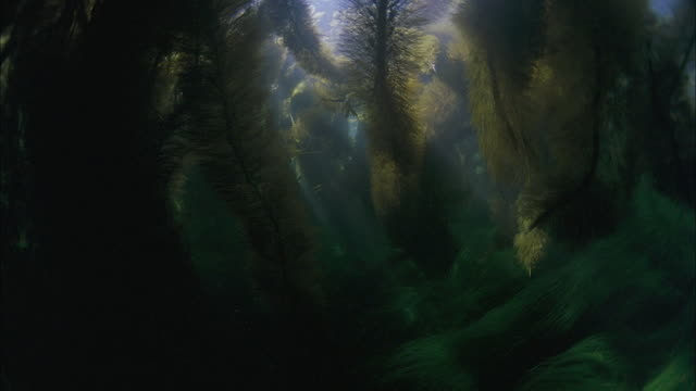 SLO MO CU Underwater plants with sun rays breaking through / Moorea, Tahiti, French Polynesia