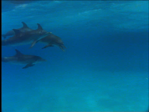 underwater school of dolphins swimming near water surface