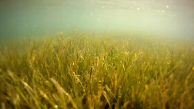 Underwater sea grass or seaweed swaying