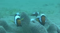 Underwater shot and zoom in of pair of Saddleback clownfish darting around an anemone