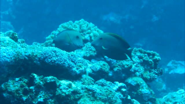 Underwater shot; Dark-colored male and female fish