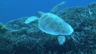 Underwater shot of a sea turtle Hawksbill sea turtle leisurely swimming among the reefs