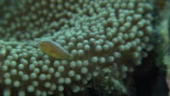 Underwater shot of Orange skunk clownfish moving in and around sea anemone