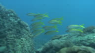 Underwater shot of school of Bensasi goatfish (Upeneus japonicus).