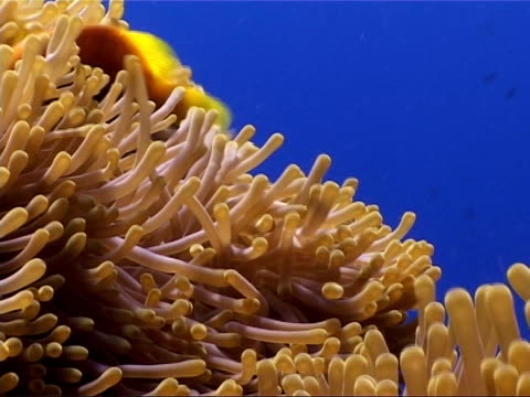 Underwater shots fish and coral Close shot and mid shots of anemone fish swimming amongst anemone