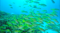 Underwater shot;School of yellow-colored fish (species unclear)