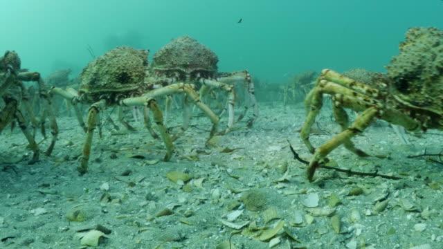 Underwater Spider Crab Migration