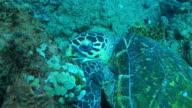 Underwater HA CU track around Hawksbill Turtle eating coral