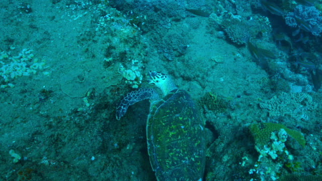 Underwater MS track around Hawksbill Turtle eating coral