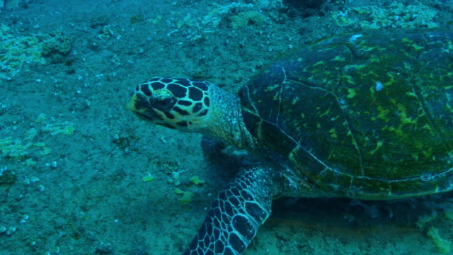 Underwater MS track around Hawksbill Turtle searching for coral