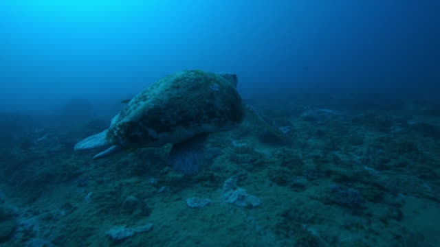 Underwater track behind Hawksbill Turtle swimming over reef