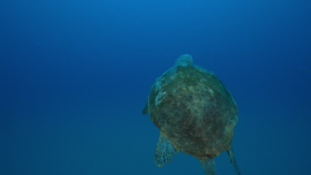 Underwater track behind Hawsbill Turtle swimming to surface in open sea