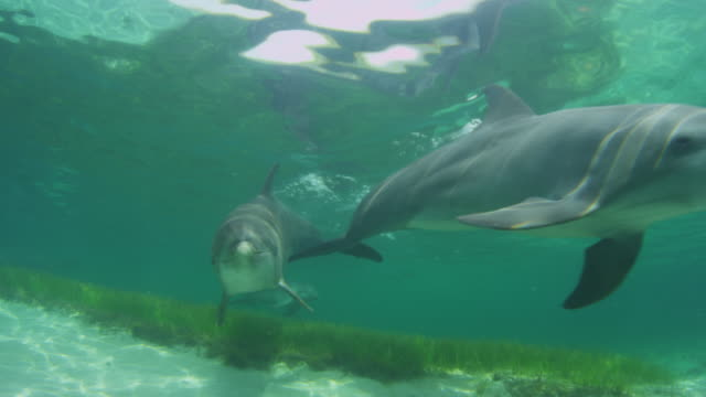 Underwater track towards 3 Bottlenosed Dolphins swimming to camera over seagrass and looking into lens
