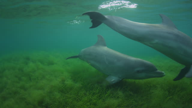 Underwater track with 2 Bottlenosed Dolphins swimming to camera over seagrass