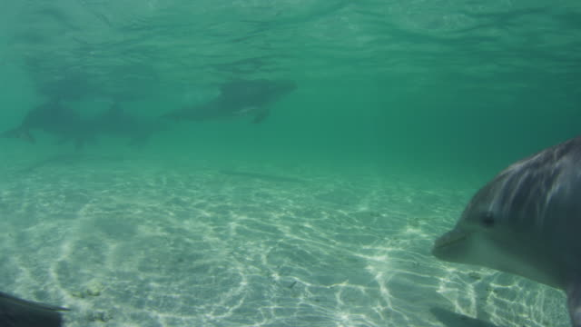 Underwater track with group of Bottlenosed Dolphins swimmng fast over seagrass