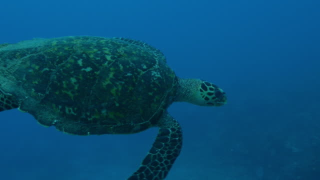 Underwater track with Hawkbill Turtle swimming in open water then over reef
