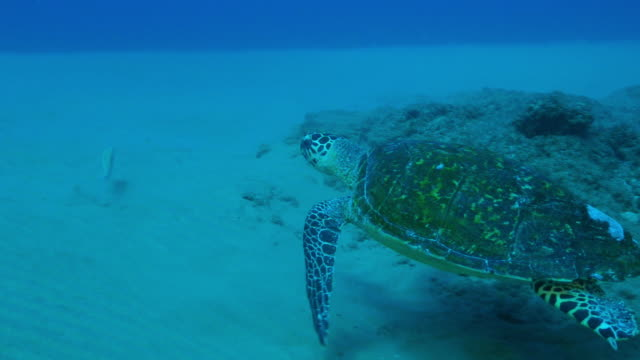 Underwater MS track with Hawkbill Turtle swimming over reef then seabed
