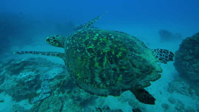 Underwater track with Hawkbill Turtle swimming over reef