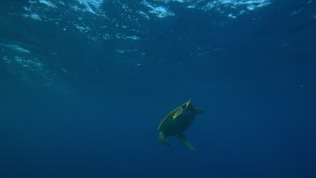 Underwater track with Hawksbill Turtle diving in open sea