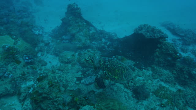 Underwater HA track with Hawksbill Turtle floating over reef