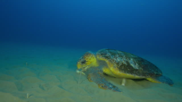 Underwater track with Hawksbill Turtle swimming over seabed then stops to eat