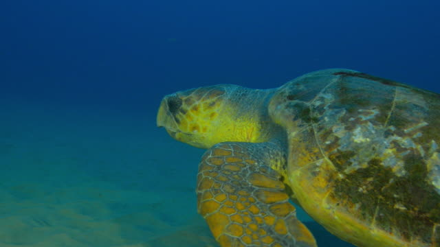 Underwater CU track with Hawksbill Turtle swimming over seabed