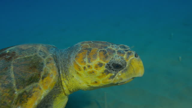 Underwater HA CU track with Hawksbill Turtle swimming over seabed