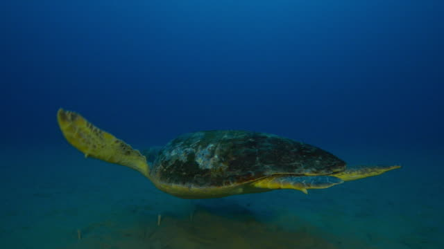 Underwater track with Hawksbill Turtle swimming over seabed