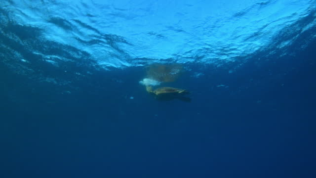 Underwater track with Hawksbill Turtle taking breath then swimming in open sea