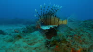 Underwater MS tracking with Lionfish swimming over reef