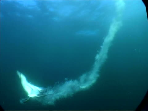 MS underwater view of Gannet diving into water in front of camera and swimming up to surface, South Africa