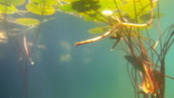 Underwater view of Lilly pads