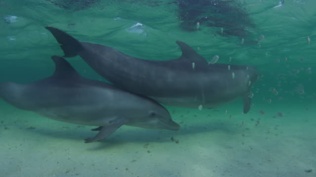 Underwater PAN with 2 Bottlenosed Dolphins swimming and touching with fish in foreground