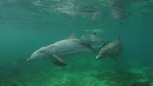 Underwater PAN with 2 Bottlenosed Dolphins with young calf swimming below surface very close to camera