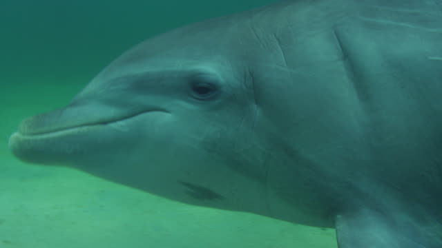 Underwater CU PAN with Bottlenosed Dolphin hunting over sandy seabed