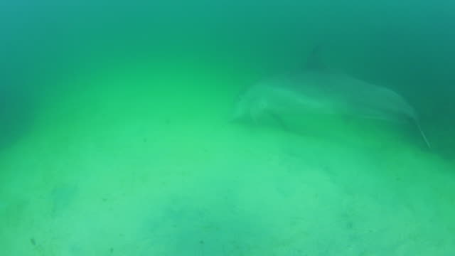 Underwater PAN with Bottlenosed Dolphin hunting over sandy seabed