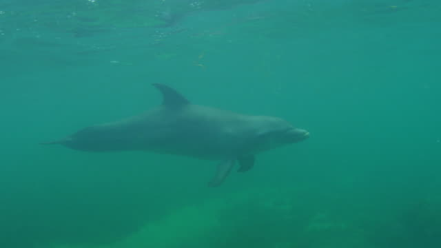 Underwater CU PAN with Bottlenosed Dolphin swimming close to camera
