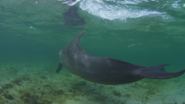 Underwater PAN with Bottlenosed Dolphin swimming fast in shallow sea