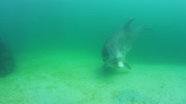 Underwater PAN with Bottlenosed Dolphin swimming over sandy seabed