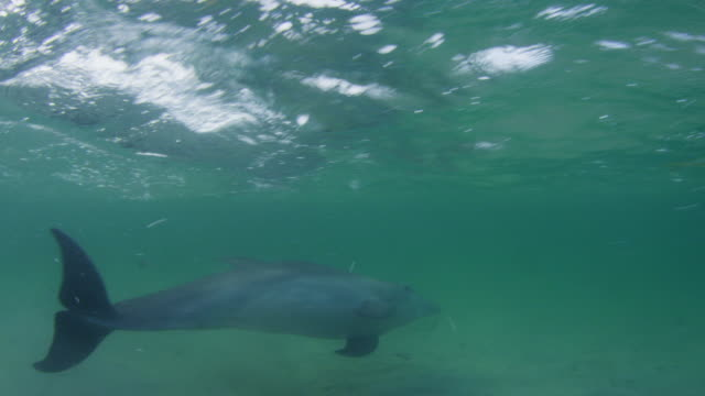 Underwater CU PAN with Bottlenosed Dolphin swimming very close to camera in shallow sea with fish in foreground