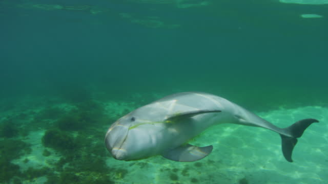 Underwater MS PAN with Bottlenosed Dolphin swimming with seaweed in its mouth and looking into lens