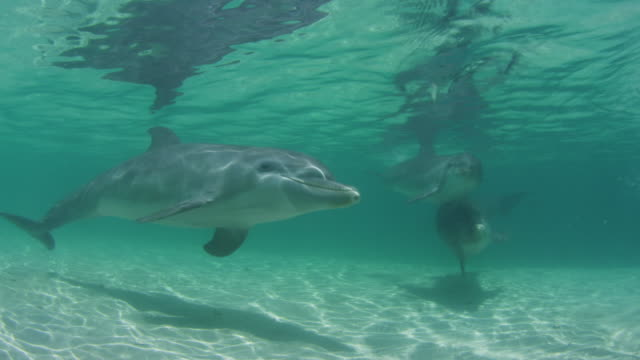 Underwater PAN with group of Bottlenosed Dolphins swimming below surface over sand in sunlight