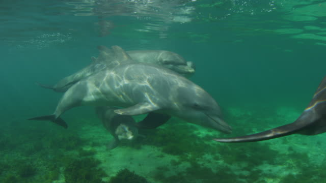Underwater PAN with group of Bottlenosed Dolphins with young calf swimming below surface