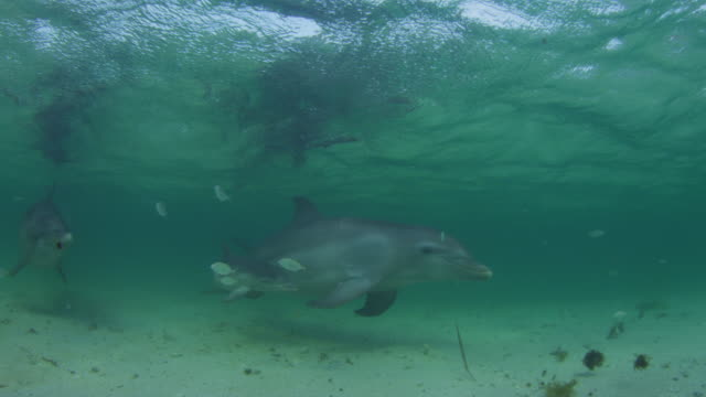 Underwater PAN with group of Bottlenosed Dolphins with young calf swimming below surface with fish in foreground