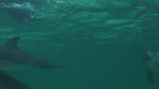 Underwater PAN with group of Bottlenosed Dolphins with young calves swimming below surface